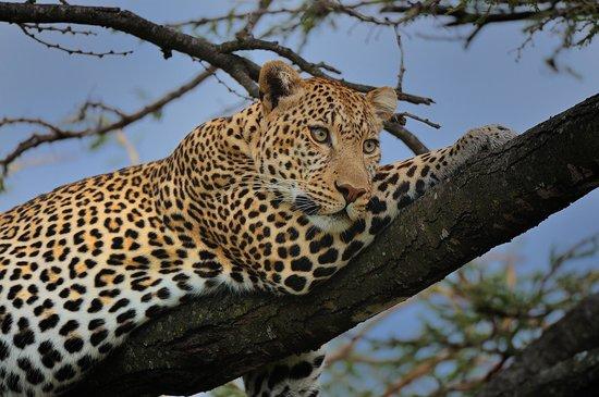 Porini Lion Camp: Leopard bei Sonnenuntergang