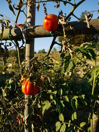 B&B Gli Archi: Tomatoes on the farm