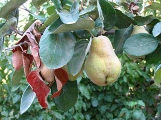 Terrace Houses Sirince : Pear tree in Şirince.