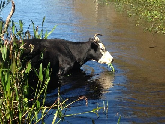 Alligator Cove Airboat Nature Tours: Cow