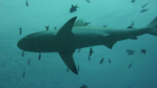 كوريدو: Baby Grey Reef Shark @ Orimas Thila