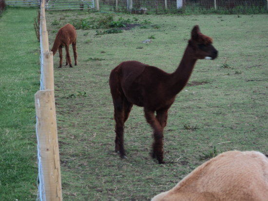 Putlake Adventure Farm: One of our herd of Alpacas