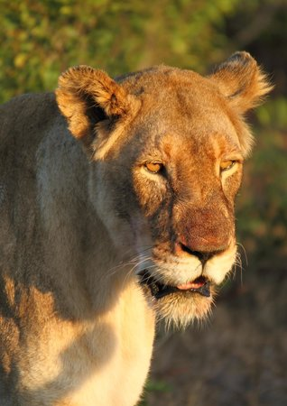 andBeyond Phinda Vlei Lodge: Lioness