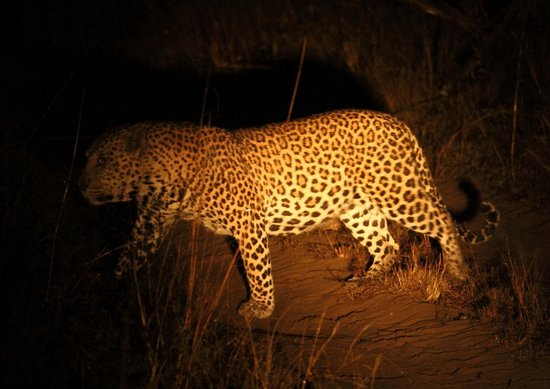 andBeyond Phinda Vlei Lodge: Leopard at night (in the rain)