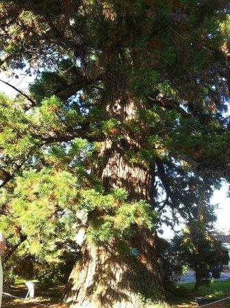 Domaine de Fompeyre : Un impressionnant séquoia