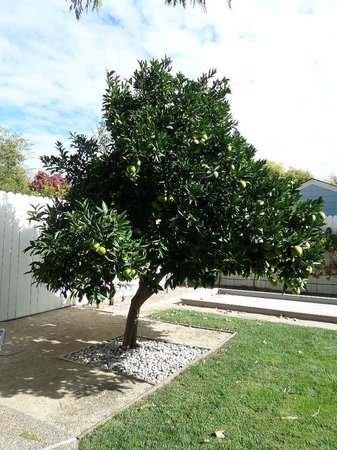 Arbor Guest House: Lemon Tree!