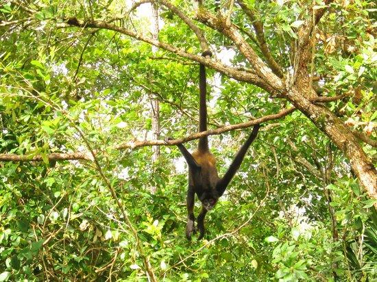 The Belize Zoo: Belizean Monkey