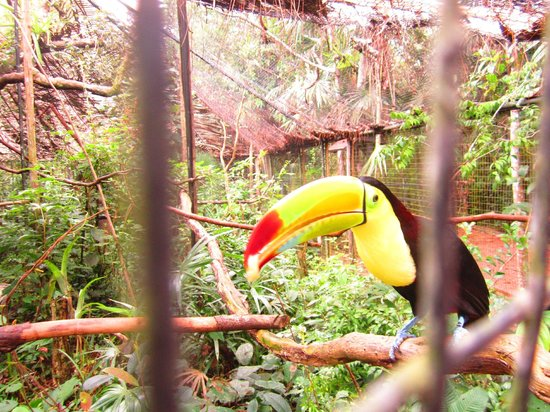 The Belize Zoo: Toucan