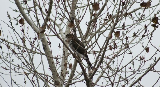 Cherry Creek State Park: prairie falcon