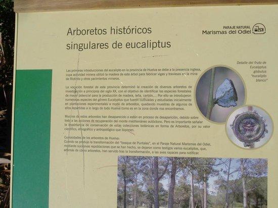 Las Marismas de Odiel: información eucaliptos