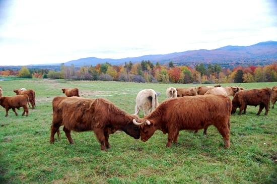 Trapp Family Lodge Outdoor Center: Highland  cattle on von Trapp Estate