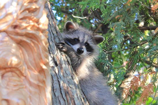 Crews on INN : racoon baby (one out of two!)