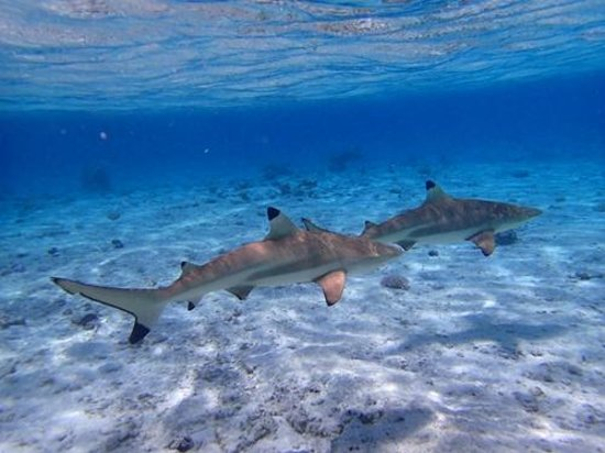 Keishi Tours: Black Tipped Reef Sharks