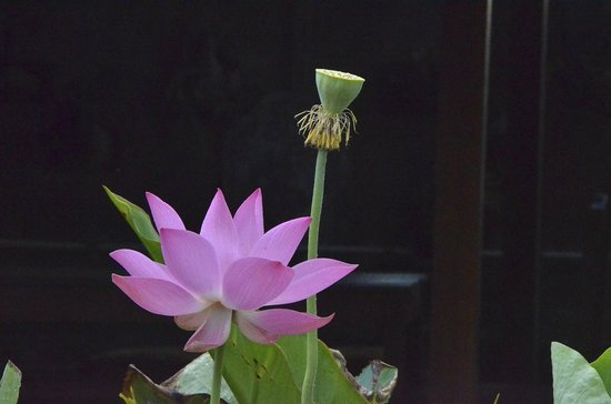 Kebun Impian: Lotus blossom and young seed pod
