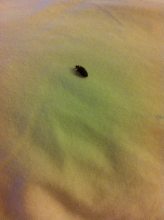Bed Bug On The Bedding Picture Of Days Inn By Wyndham Erie