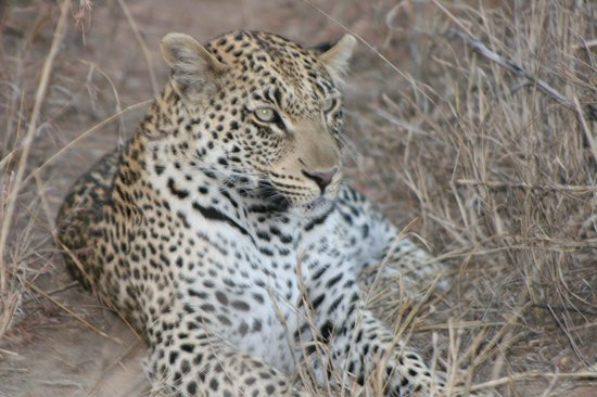 andBeyond Ngala Tented Camp: Beautiful Leopard. Yes, those eyes are green!