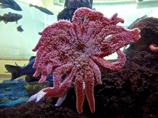Kodiak Laboratory Aquarium & Touch Tank: pink tentacles