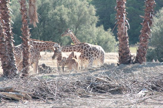 Réserve Africaine de Sigean : Les girafes (parc voiture)