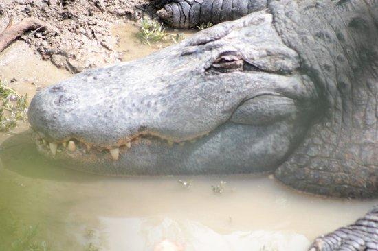Réserve Africaine de Sigean : Un crocodile (parc pédestre)