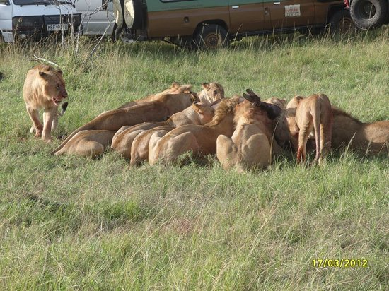 Masai Mara Manyatta Camp: Lions Enjoying their kill near Manyatta Camp