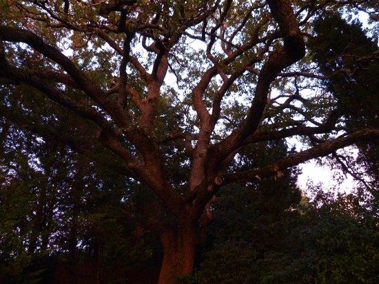 La Maison de Rocbaron: Un chêne magnifique .