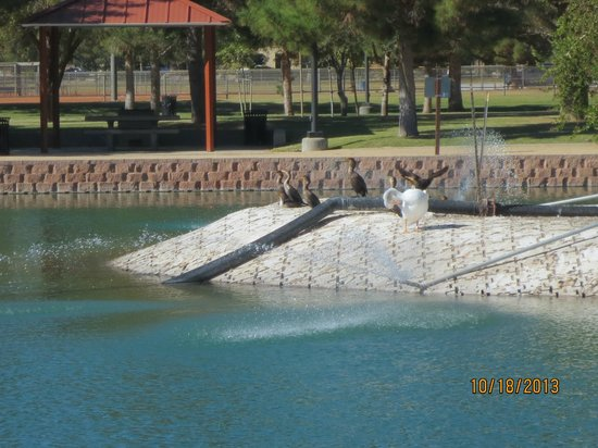 Pelican With Cormorants Picture Of Sunset Park Las Vegas