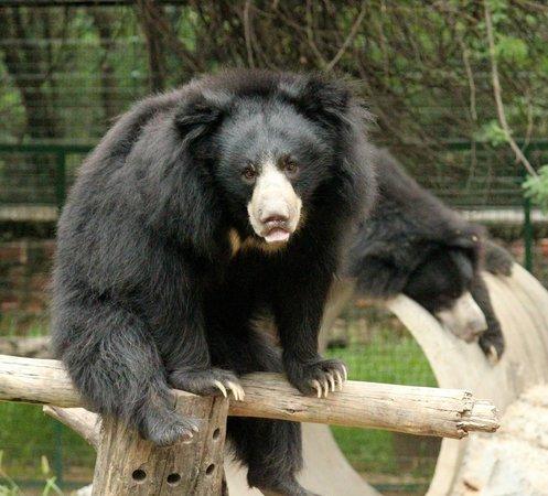 Wildlife SOS: Bear at Agra Bear Rescue Facility