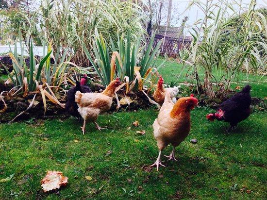 Vallee des Vignes Chambres d'Hotes : Les poules