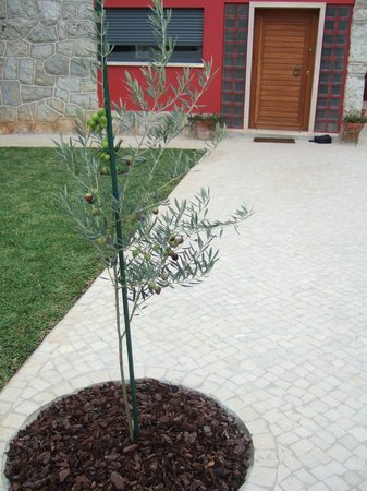 Alquimia Guest House: Front courtyard olive tree