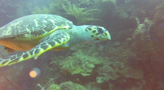 Hamanasi Adventure and Dive Resort: Hawksbill Turtle