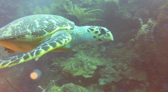 Hamanasi Adventure and Dive Resort: Hawksbill Turtle