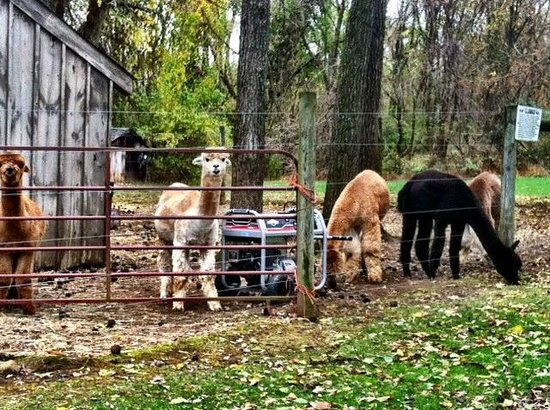Chimney Hill Estate & Ol' Barn Inn: the Alpacas!