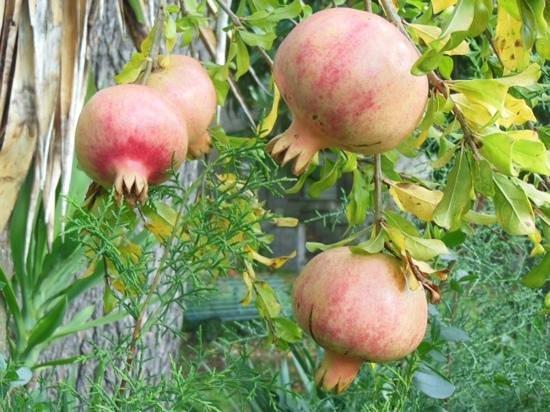 Villa Mercede: pomegranates in garden
