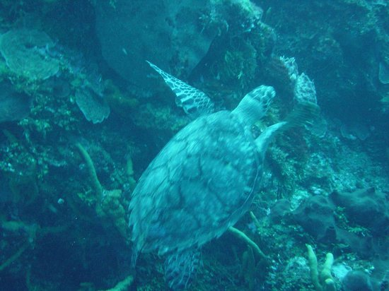 Buena Ventura Diving: Saw several large turtles