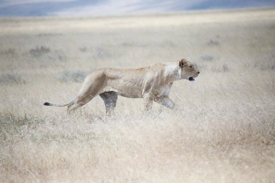 Ngorongoro Conservation Area, Tanzania: Lioness stalking wildebeest at Ngorongoro (he escaped)
