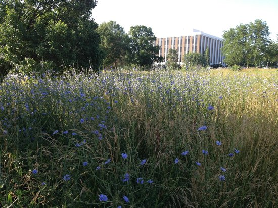 Comfort Inn-Kansas City Airport: wildflower meadow across parking lot