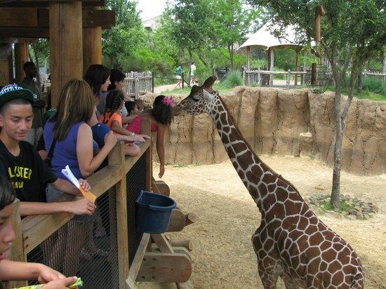 Dallas Zoo : Здесь можно покормить жирафов!