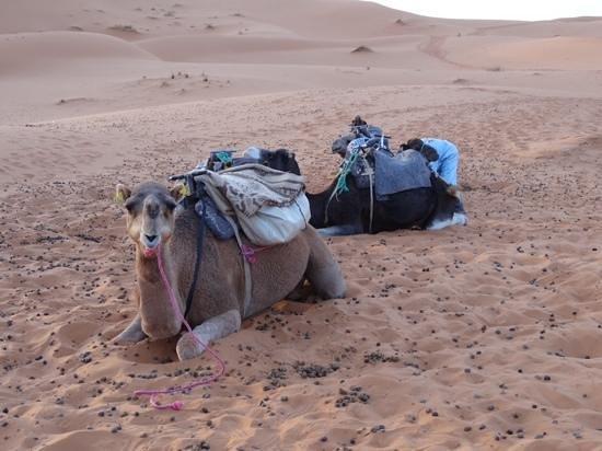 Hotel Kasbah Mohayut : Camel!