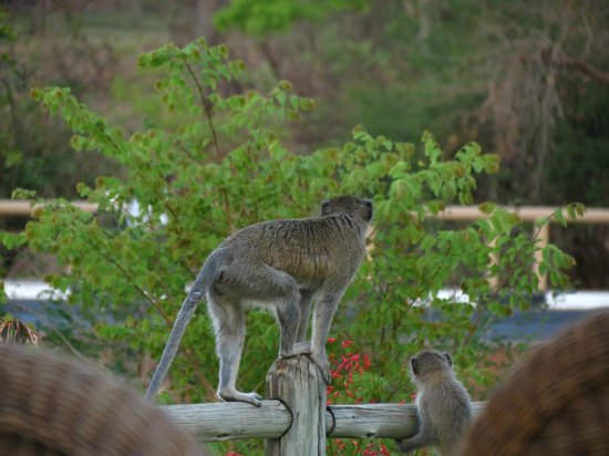 Ilala Lodge: trying to steal a few bar snacks?