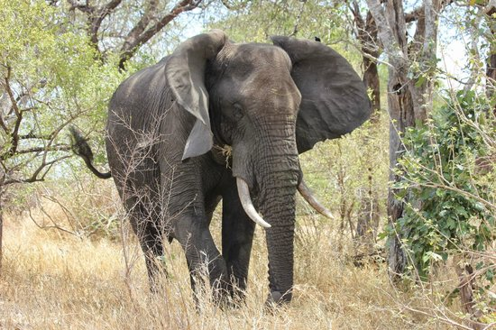 Vuyani Safari Lodge : Elephant on Kruger visit