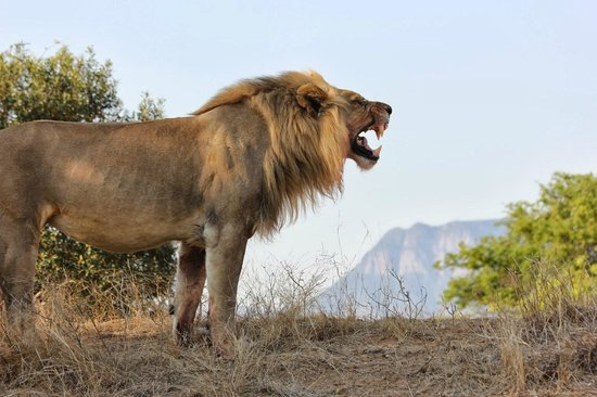 Vuyani Safari Lodge : Lion on game drive