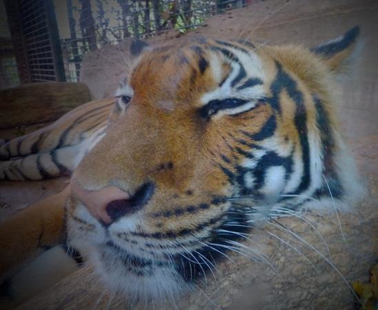 Dortmund Zoo : Sleeping tiger