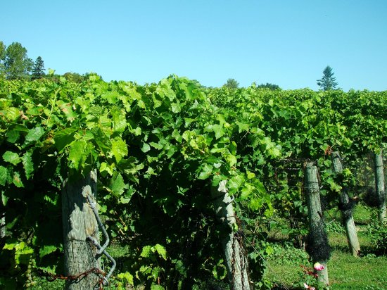 Waupoos Estates Winery: Grapes- not too much longer till there are picked!