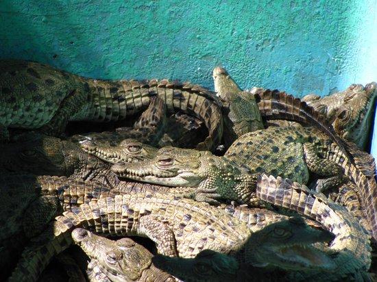 Laguna Ventanilla : Baby Crocs