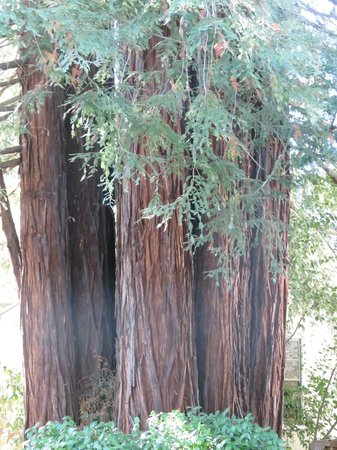 Inn St Helena : Redwood smells great in the morning