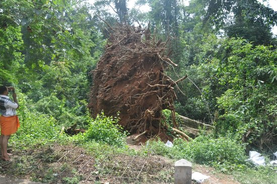 Pathanamthitta, India: uprooted tree