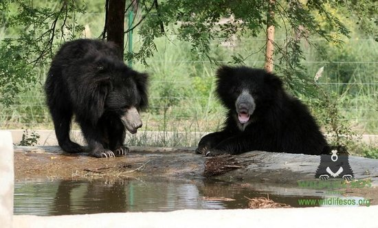 Wildlife SOS: Hanging out by the pool ! Titli Bear - Vidhur Bear  hanging out