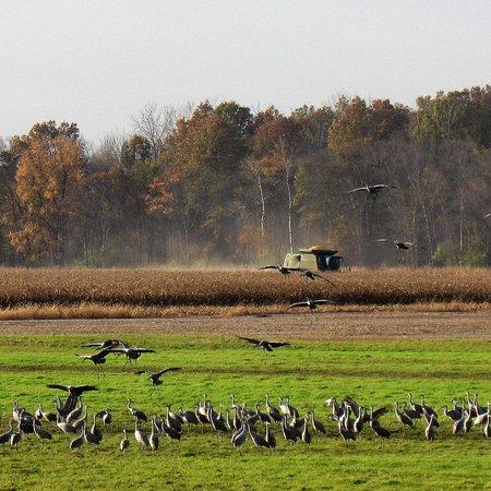Jasper-Pulaski Fish and Wildlife Area: harvesting corn in field behind meadow