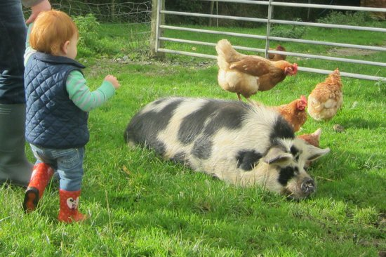 Chark Farm : Fluffy and the hens