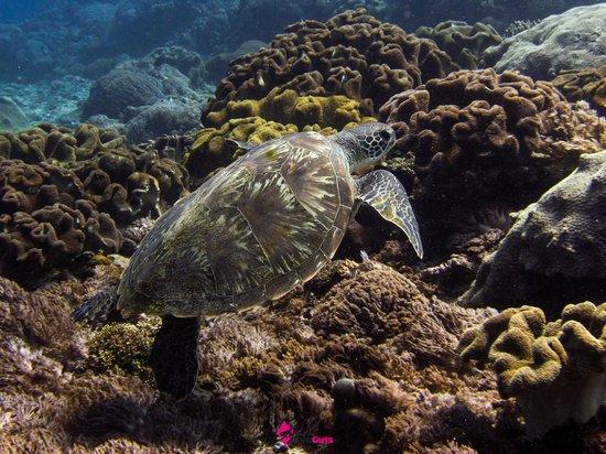 Bali Diving Academy Lembongan: Turtle at Crystal Bay